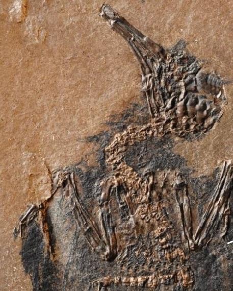 Птицы научились летать 50 млн лет назад