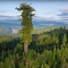Самое большое дерево на планете.