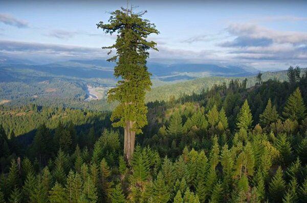 Самое большое дерево на планете