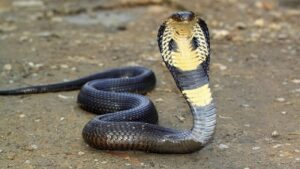 Змеи. Плюющаяся ядом кобра