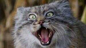 Мануал. Дикие кошки