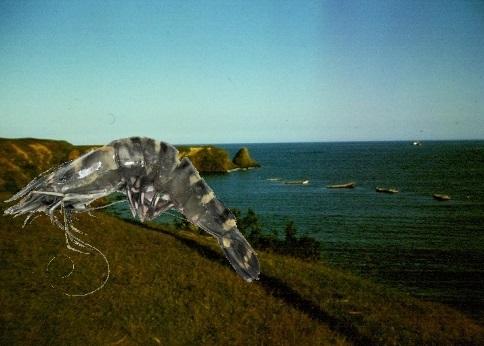 Таинственный Черный ныряльщик и креветки