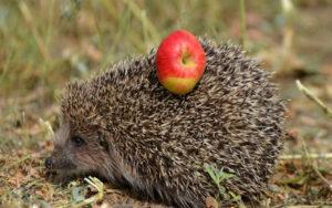 Ёжик и яблоки