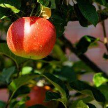 Способы лечения фруктовых деревьев, если лопается кора.