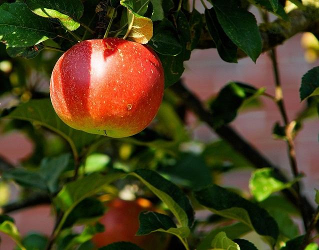 Способы лечения фруктовых деревьев, если лопается кора