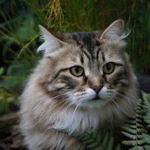 Сибирский кот. Помощник и охранник.