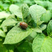 Колорадский жук. Способы (60 способов) и средств борьбы с колорадским жуком.