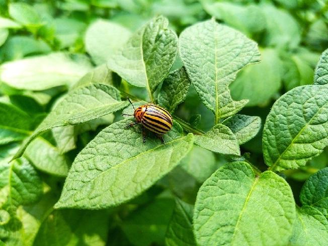 Колорадский жук. Способы (60 способов) и средств борьбы с колорадским жуком