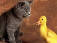Как отваживать кошек от цыплятников, голубятен и от, других мест