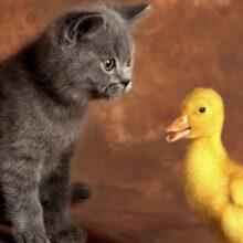 Как отваживать кошек от цыплятников, голубятен и от, других мест.