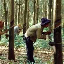 Каучук и каучуковые плантации Индонезии.