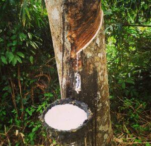 Каучук и каучуковые плантации Индонезии