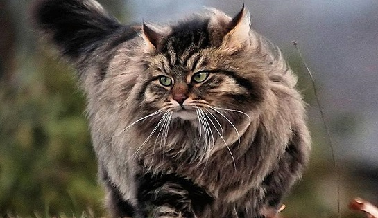 Гипоаллергенный сибирский кот.