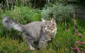 Сибирский кот. Помощник и охранник