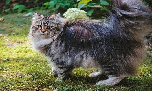 Что делать, когда кошка вызывает аллергию. Симптомы аллергии на кошек. Гипоаллергенная кошка