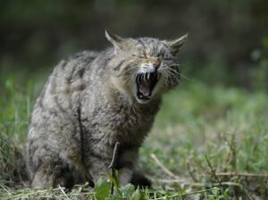 Зачем кошки мурлыкают