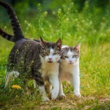 Как подружить кошек в вашем доме.