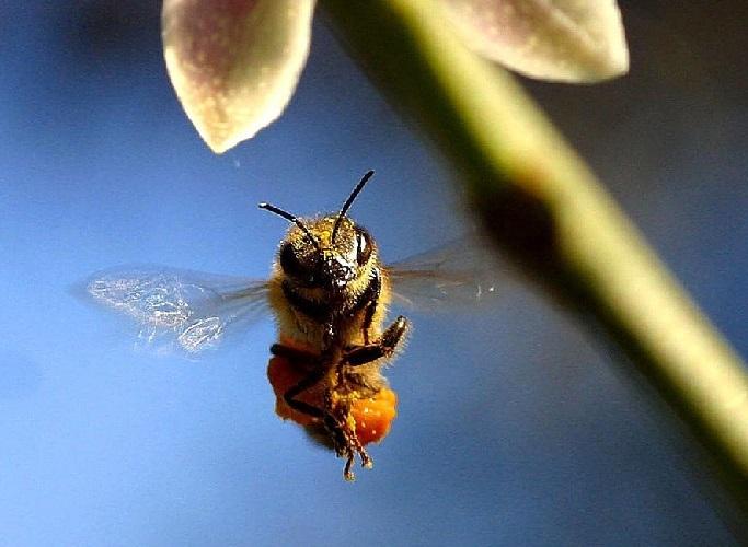 Почему пчелы жалят