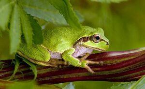 Почему древесные лягушки не замерзают зимой