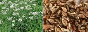 Анис -соцветие- семена