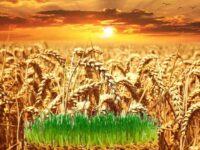 Пророщенная пшеница польза и вред - противопоказания