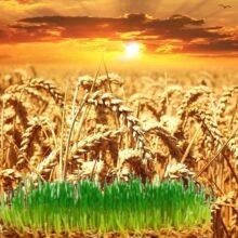 Пророщенная пшеница польза и вред — противопоказания