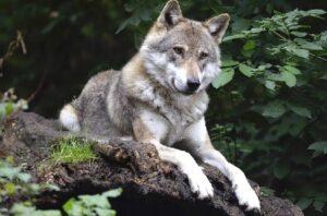 Возможно ли приручить волков