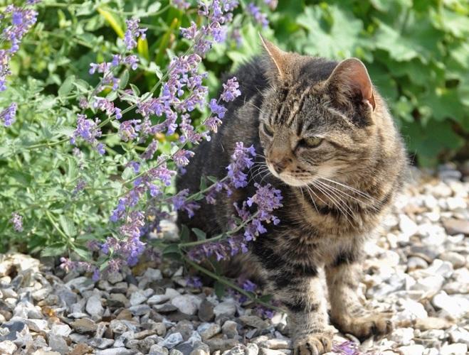 Кот и кошачья мята