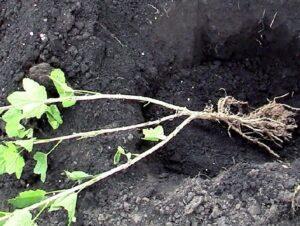 Как размножить и получить самостоятельное растение