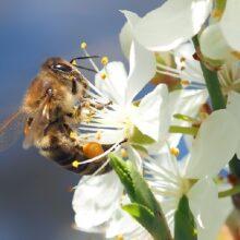 Долголетие и тайна цветочной пыльцы