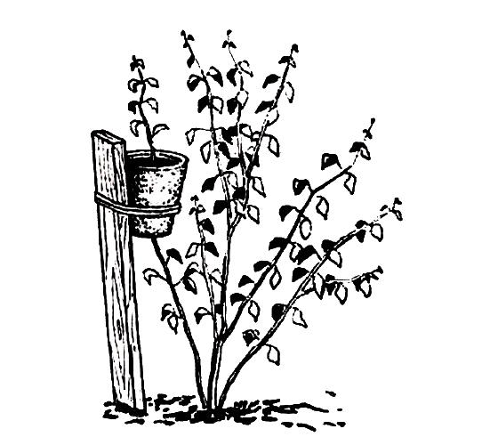Самостоятельное растение