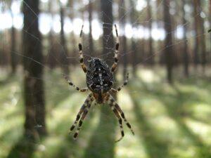 паук крестовик