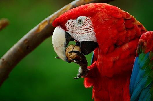 Грецкий орех и попугай