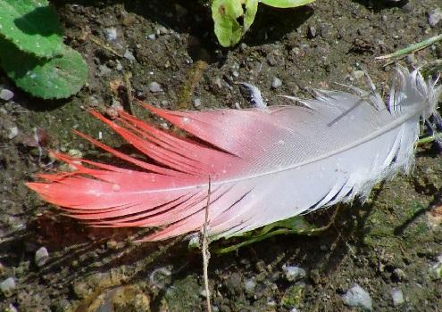 перо фламинго