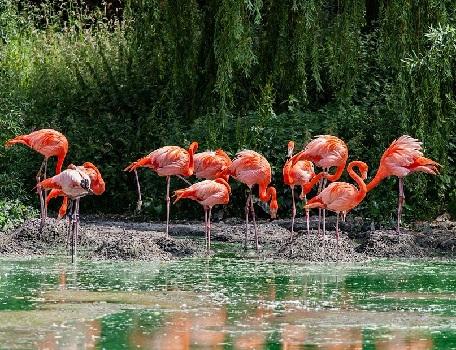 Розовый фламинго и почему фламинго розовые
