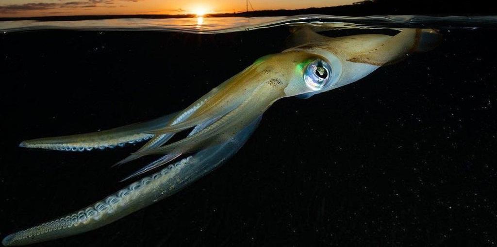 Гигантский кальмар как живая торпеда моря