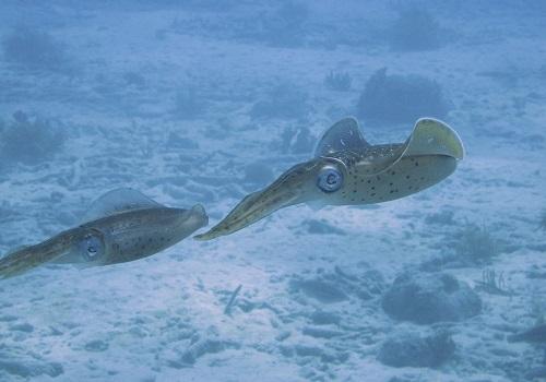 Гигантский кальмар спрут как живая торпеда моря