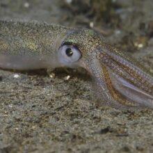 Гигантский кальмар или живая торпеда моря