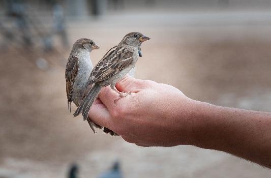 Помощь выпавшему из гнезда птенцу
