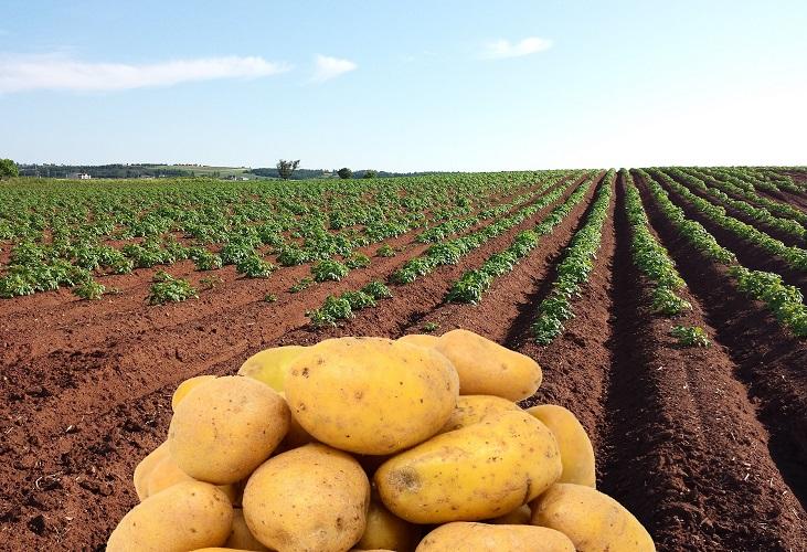 Светозакалка клубней картофеля