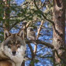 Встреча с волками или состояние счастья
