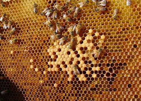 Прополис пчелы