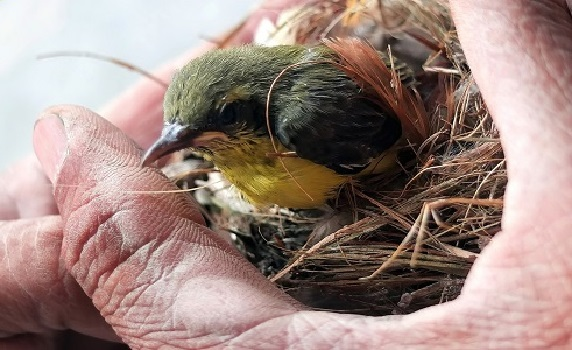 Мухоловка и птенцы