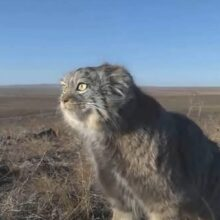 Палласов кот или Мануал