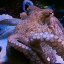 Гигантский осьминог найден в 1896 году