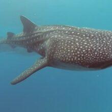 Китовая акула или самая большая рыба в мире