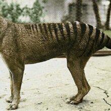 Тасманский вымерший тигр и его история.