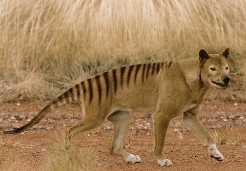 Тасманский вымерший тигр и его история