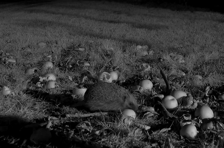 еж ест ночью на огороде яблоки