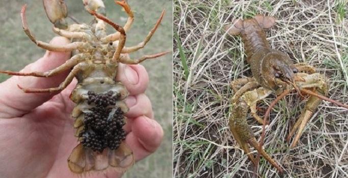 Где раки зимуют и виды раков в Сибири